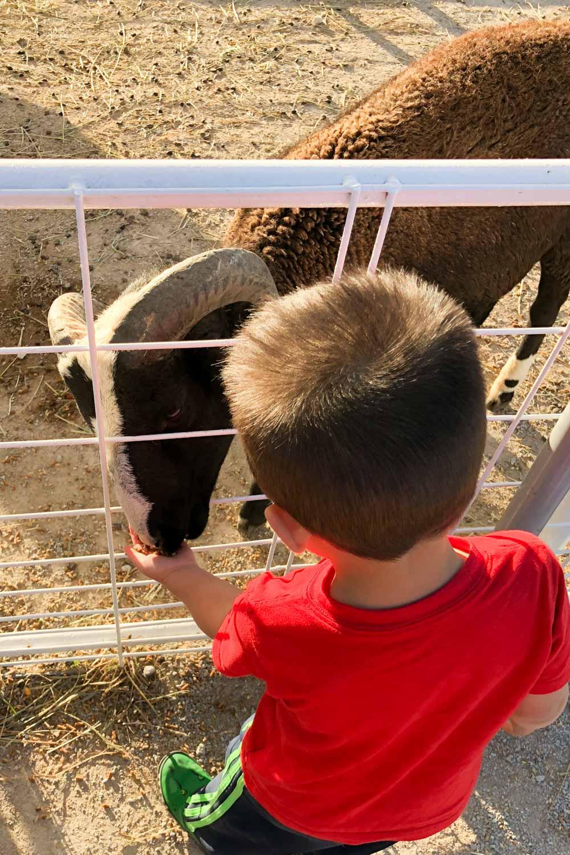 faulkner's pumpkin ranch - feed animals